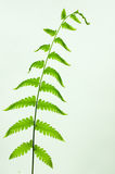 Cor verde da folha da samambaia Imagem de Stock