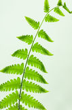 Cor verde da folha da samambaia Fotografia de Stock Royalty Free