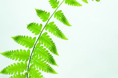 Cor verde da folha da samambaia Fotos de Stock Royalty Free