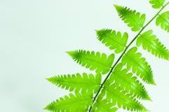 Cor verde da folha da samambaia Imagens de Stock