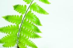 Cor verde da folha da samambaia Foto de Stock