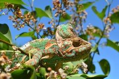 Cor verde da natureza da tomada da camuflagem do camaleão fotografia de stock