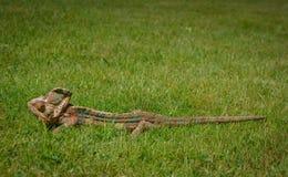 Cor verde da natureza da tomada da camuflagem do camaleão fotografia de stock royalty free