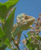 Cor verde da natureza da tomada da camuflagem do camaleão imagens de stock royalty free