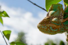 Cor verde da natureza da tomada da camuflagem do camaleão imagens de stock
