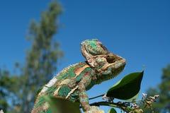 Cor verde da natureza da tomada da camuflagem do camaleão foto de stock