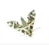A cor verde gosta da folha da borboleta da noite da árvore Imagens de Stock Royalty Free