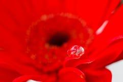 Cor vermelha da flor da margarida na gota da água Fotos de Stock Royalty Free
