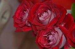 Cor vermelha das flores bonitas e delicadas Imagem de Stock Royalty Free