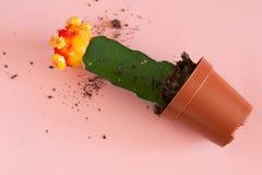 Cor vermelha e amarela do cacto do mihanovichii do gymnocalycium no mini potenci?metro da planta no fundo cor-de-rosa fotos de stock