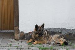 A cor zonarn-vermelha do pastor alemão encontra-se na jarda imagens de stock royalty free