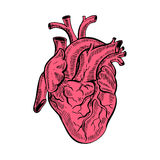 Coração anatômico do esboço do desenho da mão Ilustração do vetor do estilo dos desenhos animados Foto de Stock Royalty Free