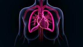Coração com pulmões ilustração royalty free