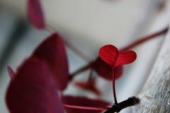Coração da folha vermelha (isolada) Fotografia de Stock