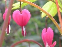 Coração de sangramento cor-de-rosa Fotografia de Stock