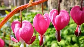 Coração de sangramento do Dicentra Fotos de Stock Royalty Free