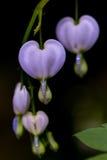 Coração de sangramento (spectabilis de Lamprocapnos) Imagem de Stock Royalty Free