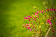 Coração de sangramento, spectabilis do Dicentra Ramo dos corações de sangramento no fundo verde Flor da mola flores cor-de-rosa e Imagens de Stock Royalty Free