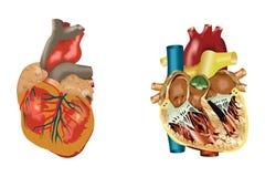 Coração de um ser humano Fotos de Stock Royalty Free