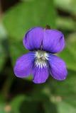 Coração de uma violeta Fotos de Stock Royalty Free
