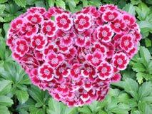 Coração de Williams doce Imagem de Stock Royalty Free