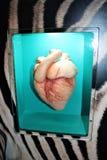 Coração do mamífero foto de stock royalty free