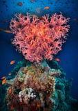Coração do Valentim feito dos corais (hemprichi de Dendronephthya) Fotos de Stock Royalty Free