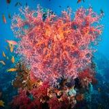 Coração do Valentim feito dos corais (hemprichi de Dendronephthya) Fotos de Stock