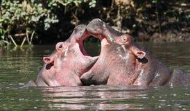 Coração dos hipopótamos Foto de Stock Royalty Free