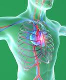 Coração e caixa, cirurgia, corpo humano, sistema circulatório, homem ilustração royalty free