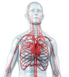 Coração e circulatório cardiovascular ilustração royalty free