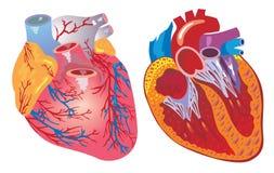 Coração e sistema cardiovascular Imagem de Stock
