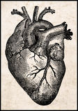 Coração humano. Fotografia de Stock Royalty Free