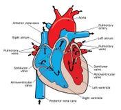 Coração humano Fotos de Stock