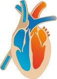 Coração humano Fotografia de Stock Royalty Free