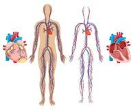 Coração humano e sistema cardiovascular ilustração royalty free