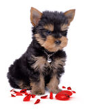 Coração quebrado do puppie do terrier de Yorkshire Foto de Stock Royalty Free