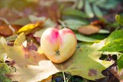 Coração real Apple dado forma em Autumn Foliage e na grama imagem de stock royalty free