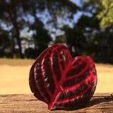 Coração vermelho folha dada forma Fotos de Stock