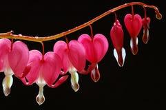 Corações de sangramento imagens de stock