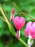 Corações de sangramento Foto de Stock Royalty Free