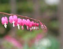 Corações de sangramento cor-de-rosa Fotografia de Stock