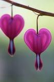 Corações de sangramento - spectabilis do Dicentra imagens de stock royalty free