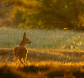 Corça dos cervos das ovas na luz moring Fotos de Stock Royalty Free