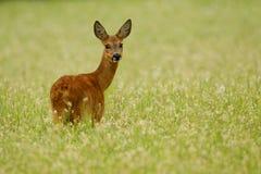 Corça dos cervos das ovas no trigo mourisco Fotografia de Stock Royalty Free