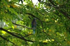Coracias benghalensis na gałąź w parku zdjęcia stock