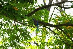 Coracias benghalensis w naturze na drzewie w parku obraz royalty free