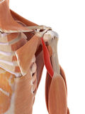 The coracobrachialis Royalty Free Stock Photo