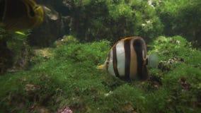 Coradions-altivelis, allgemein bekannt, als highfin coralfish Gesamtlängenvideo auf Lager stock video footage