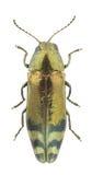 Coraebus fasciatus Stock Images